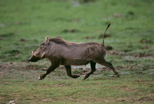 Mongooses Pile on Warthogs--to Groom Them