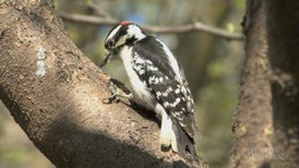 Woodpecker Pairs Close Ranks against Loud Interlopers