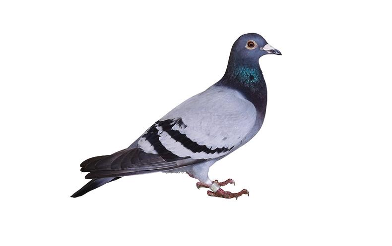Avian Athletes Who Start Their >> Stool Pigeon Poop Reveals Bird Racing Fouls Scientific American