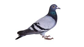 Stool-Pigeon Poop Reveals Bird-Racing Fouls
