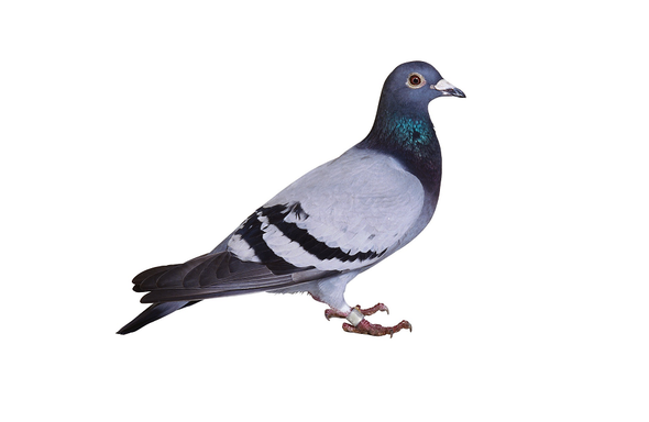 Stool-Pigeon Poop Reveals Bird-Racing Fouls
