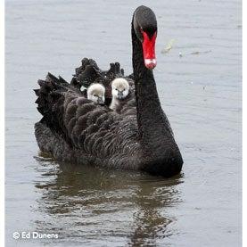 MySwan (Australia)
