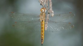 Dragonflies Outmigrate Butterflies