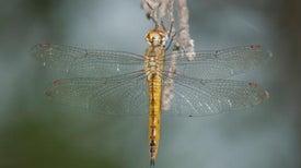 Dragonflies Outmigrate Butterflies
