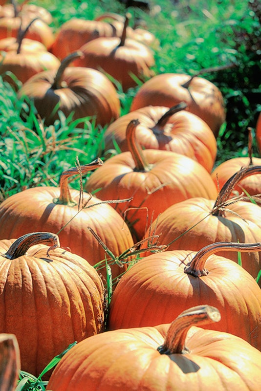 Pumpkin Lovers Face Slim Pickings, Thanks to Climate Change