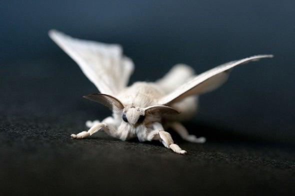Silkworm Sex Factor Is No Ordinary Gene