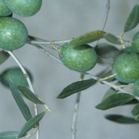 The Origins of the Olive Tree Revealed