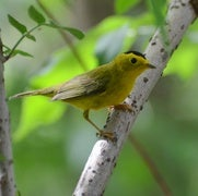 Songbirds Shift Migration Patterns to Sync with Warming