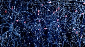 """""""Bar Codes"""" Could Map Errant Brain Wiring in Autism and Schizophrenia"""