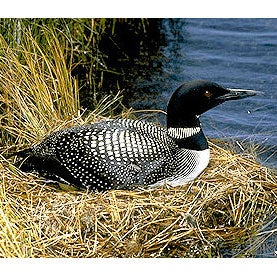 Canadian Lakes Loon Survey (CLLS)