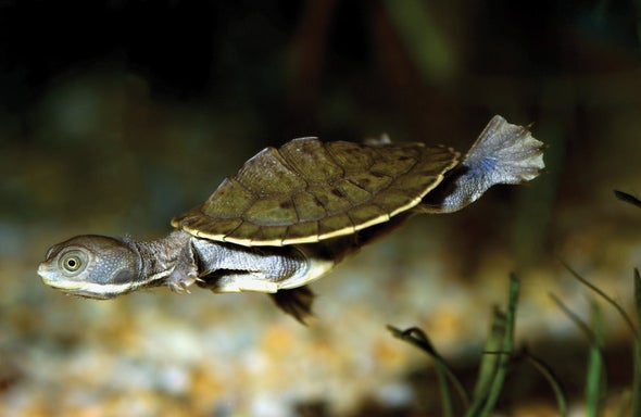 As Predicted, Some of Australia's Turtles Are Going Extinct
