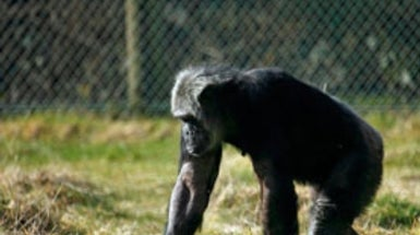 NIH Retires Research Chimps at Troubled Facility
