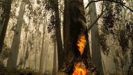Can Redwoods Survive the Devastating California Wildfires?