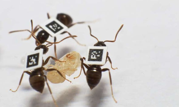 Ants Stick to Cliques to Dodge Disease