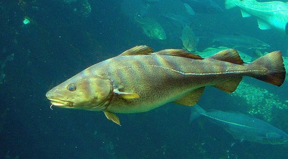 Cod Could Recover in Warming Waters