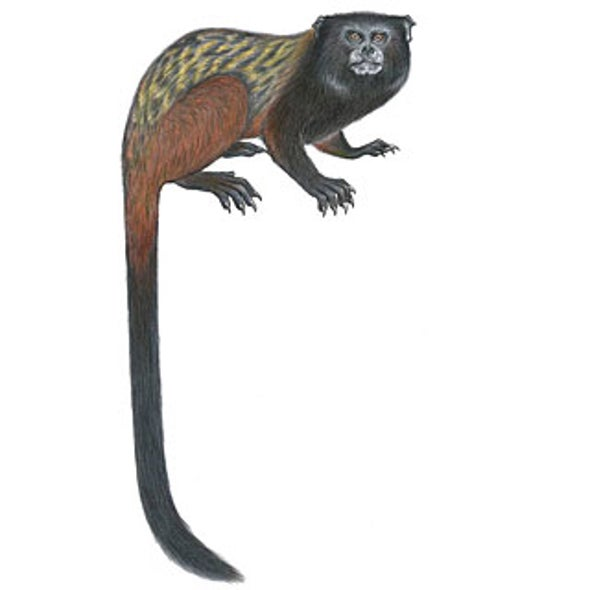 The Good News: A New Monkey Is Discovered; The Bad News: It Is Already at Risk