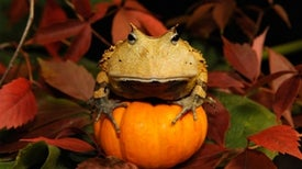 One scary Halloween frog