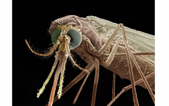 Is Malaria's Peculiar Odor Key to Its Conquest?