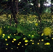 How and why do fireflies light up?