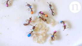 Inside the Ant Lab: Mutants and Social Genes