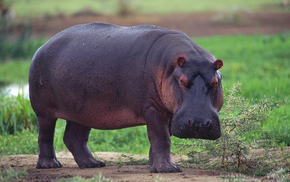 Hippo Dung Fouls Up Freshwater Fisheries