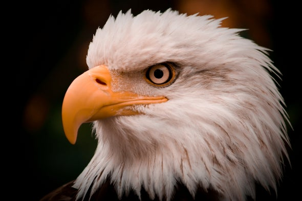 U.S. Proposes Giving Wind Farms Permits for Eagle Deaths