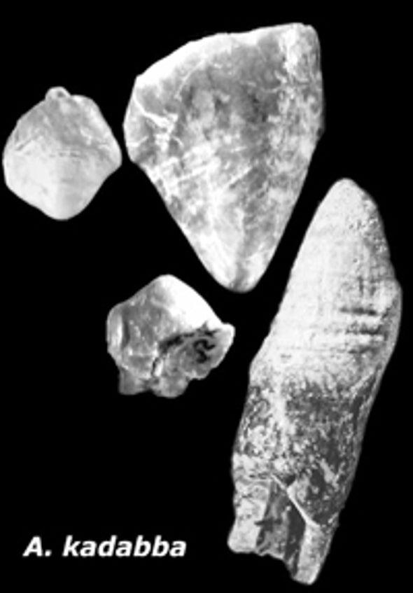 Fossil Human Teeth Fan Diversity Debate