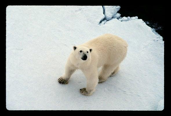 No Refuge for Polar Bears in Canadian Archipelago