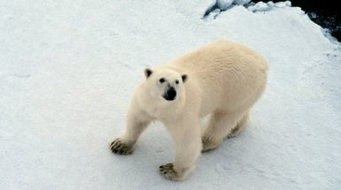 No Refuge for Polar Bears in Canadian Archipelago