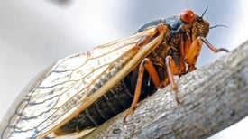 Cicadas - Making Sense of the 17-Year Emergence
