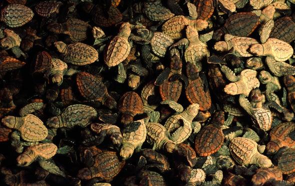 Blood Test Allows Safer Turtle Sex Determination
