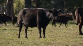 Methane-Producing Cows Harnessed as Energy Source