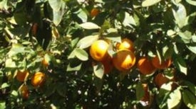 Insect-to-Insect Disease Transmission Squeezes U.S. Citrus Crop