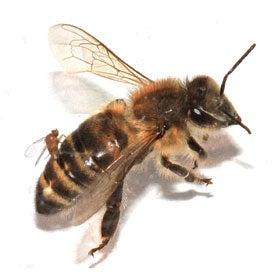 Zombie Flies May Be Killing Honeybees