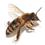 Zombie Flies May Be Killing Honeybees