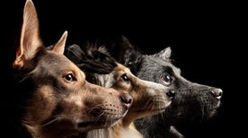 Canine MRIs Sniff Out How Human Preferences Shaped Dogs' Hallmark Traits