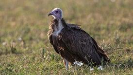 Vultures's Gut Bacteria Make Sure Rotten-Meat Diet Isn't Fatal