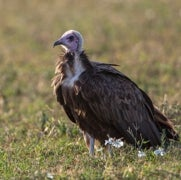 Vultures's Gut Bacteria Make Sure Rotten-Meat Diet Isn't Fatal