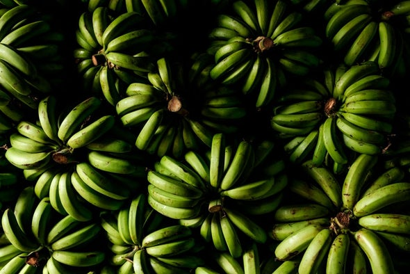 Alarm as Devastating Banana Fungus Reaches the Americas