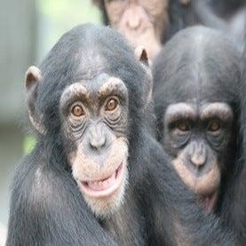 Human Intelligence Secrets Revealed by Chimp Brains