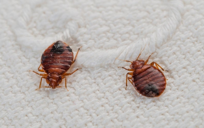 Top 10 Myths About Bedbugs Scientific American