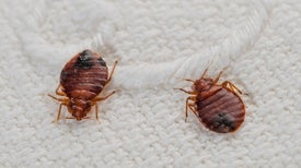 Top 10 Myths about Bedbugs