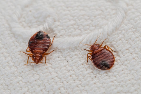 Phenomenal Top 10 Myths About Bedbugs Scientific American Customarchery Wood Chair Design Ideas Customarcherynet