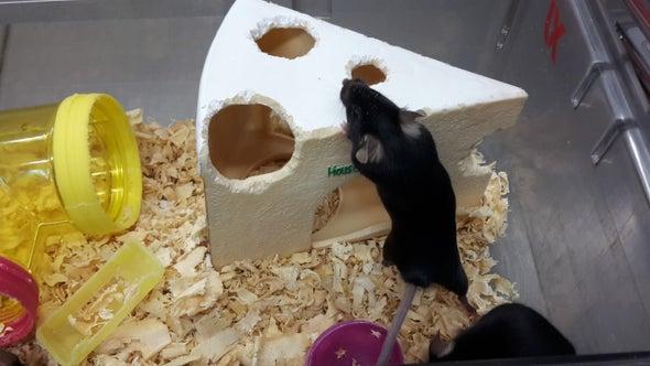 New Experiences Help Speed Up Brain Development in Mice