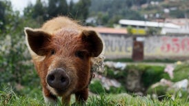 Could Animal Surveillance Have Seen Swine Flu Coming?