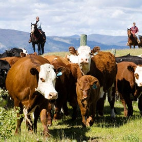 Echo Valley Ranch Cattle Drive