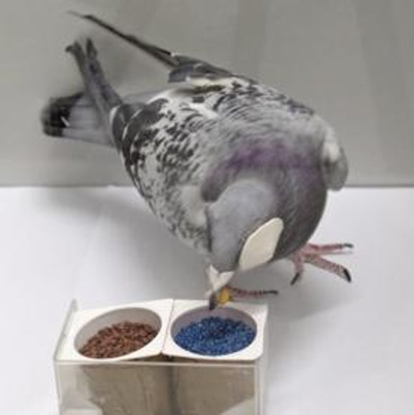 Pirate-Eye Pigeons Reveal How the Brain Talks to Itself