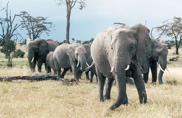 Elephants Recognize the Voices of Their Enemies