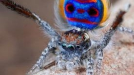 The Unusual Mating Dance of the Colorful Peacock Spider