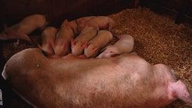 Weakest Piglets May Sneak Help from Strongest Siblings